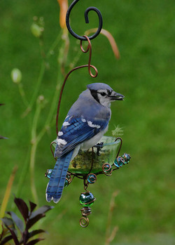 August Blue Jay
