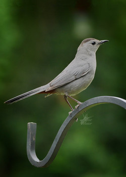 Catbird - 3
