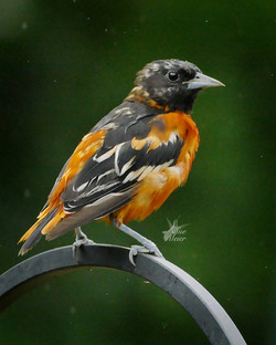 Young Oriole - 7