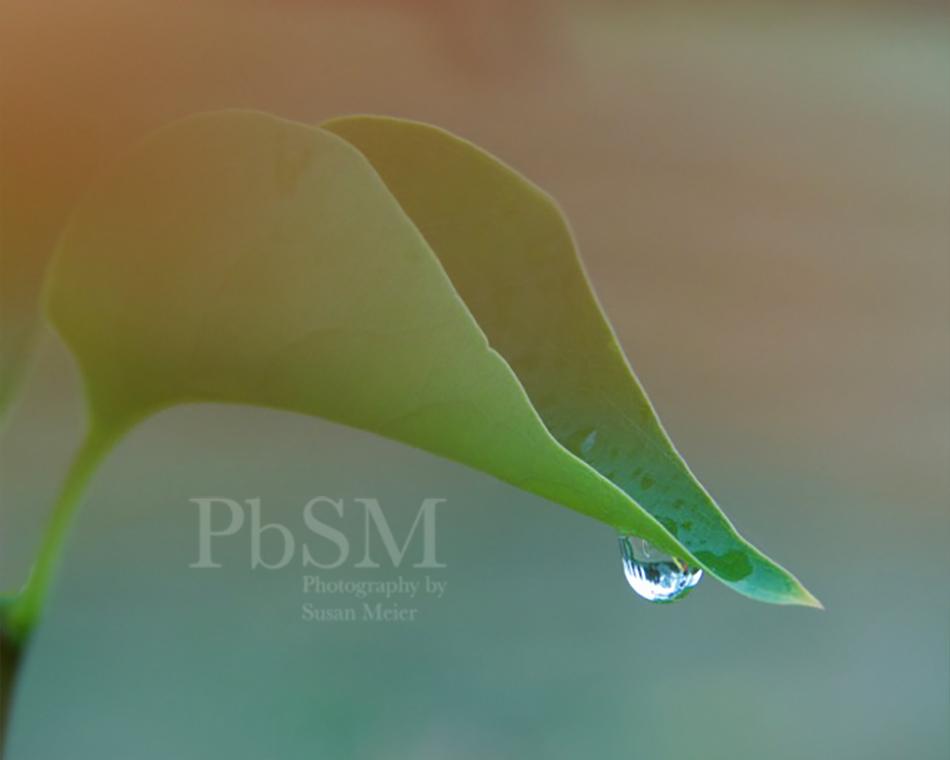 Lilac leaf droplet