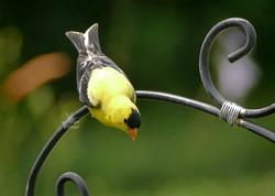 God Finch