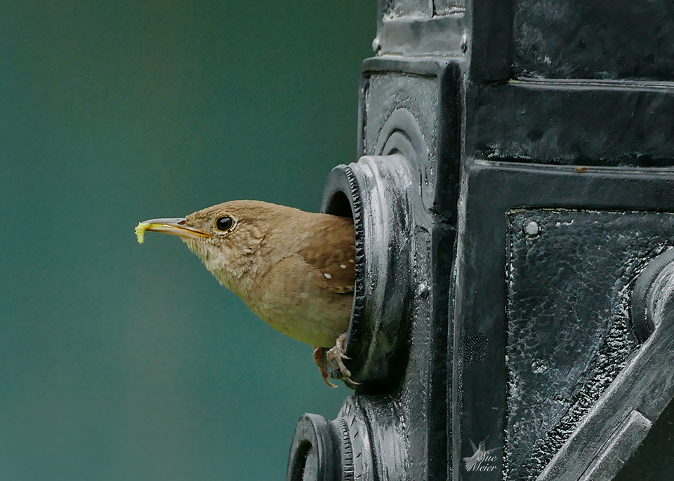 June 162019HouseWren - 2 copy