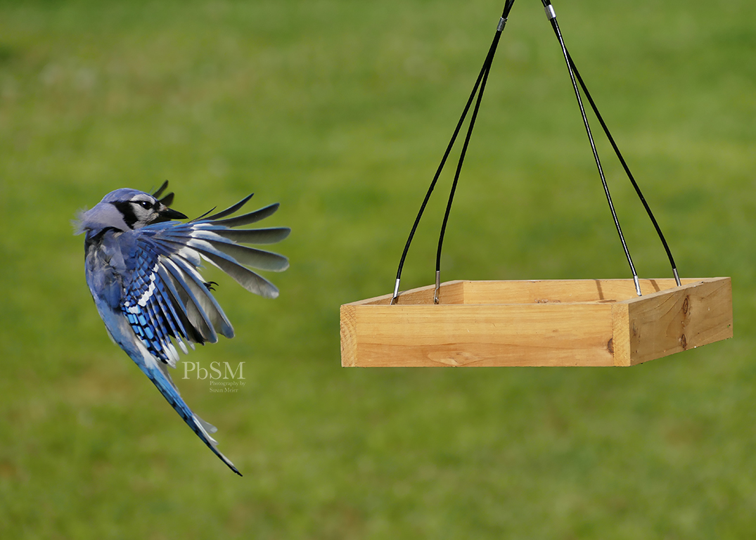 Blue Jay Flight - 16
