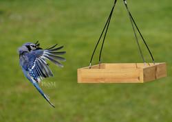 Blue Jay Flight - 16