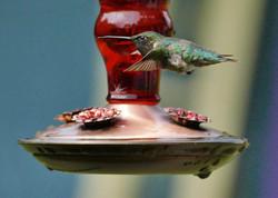 Profile of a Hummingbird