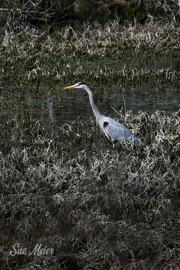 Great Blue Heron - Alabama NY