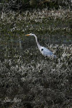 Great Blue Heron - Alabama NY