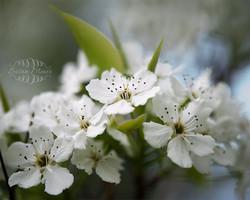 Cherry Blossoms - Japanese Garden