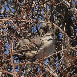 Mockingbird in Canandaigua, NY.
