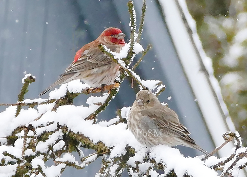 Mr. & Mrs. House Finch