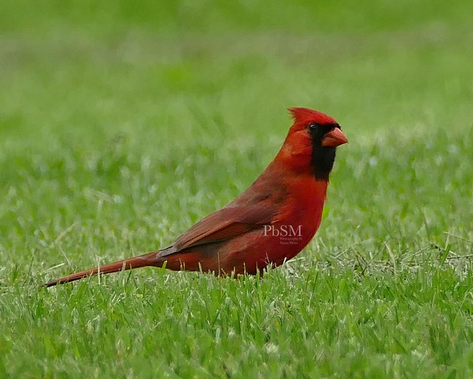 May Cardinal