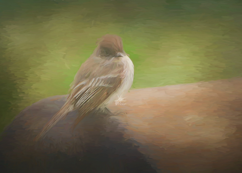 Eastern Phoebe Art