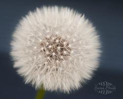 Dandy Dandelion