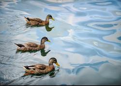 Ducks on Canandaigua Lake