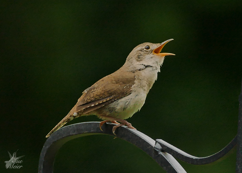 June202019HouseWren - 55 copy