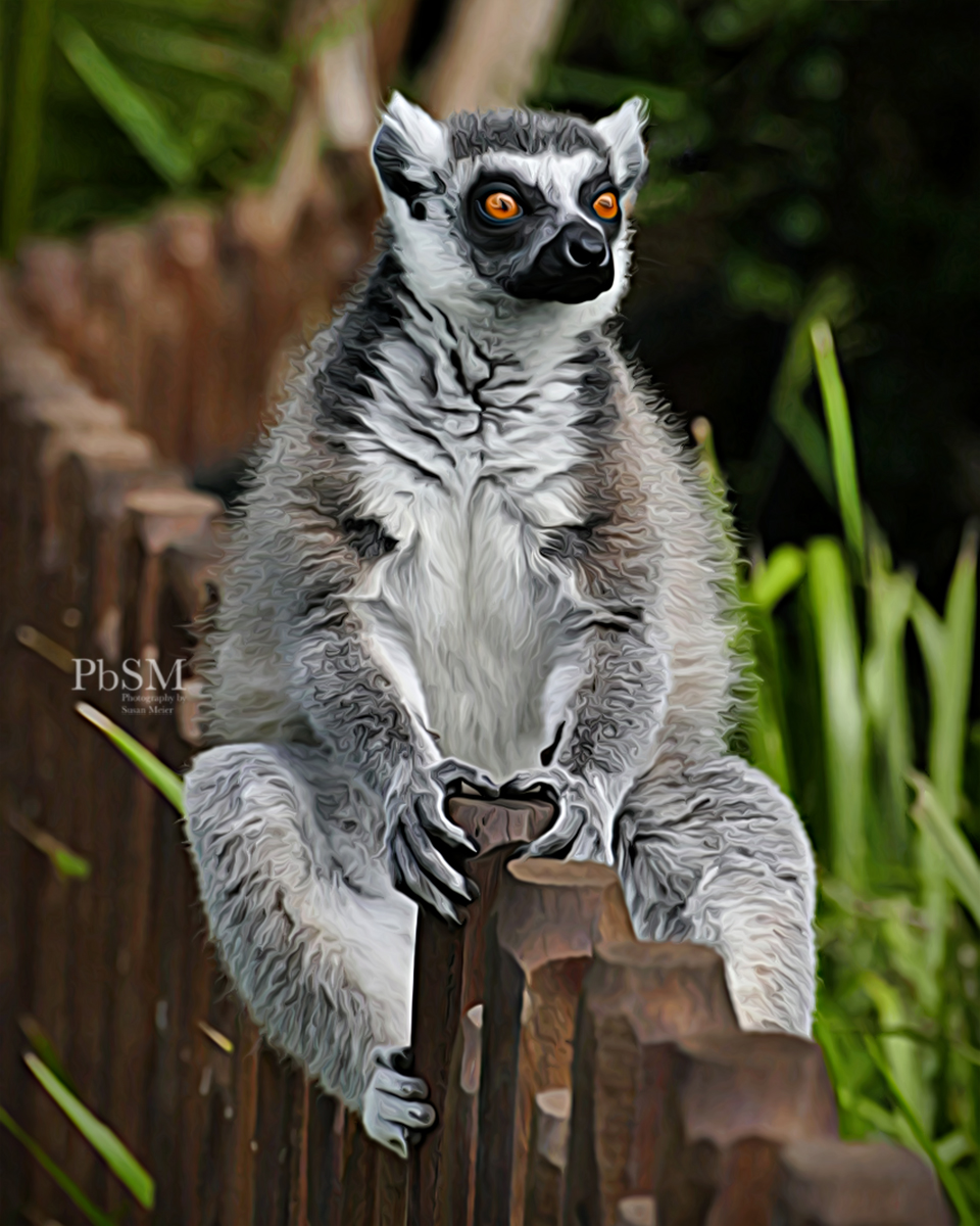 Lemur in Australian Zoo