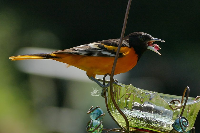 Oriole with a mouth full