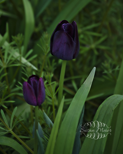 2 Purple Tulips