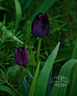 2 Purple Tulips