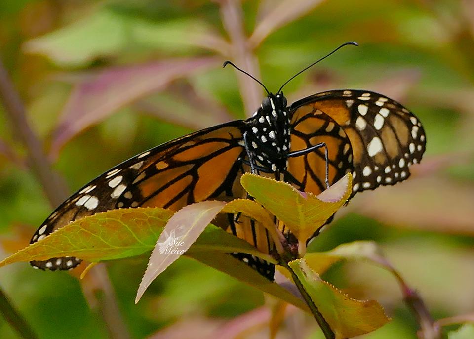 Monarch - 5