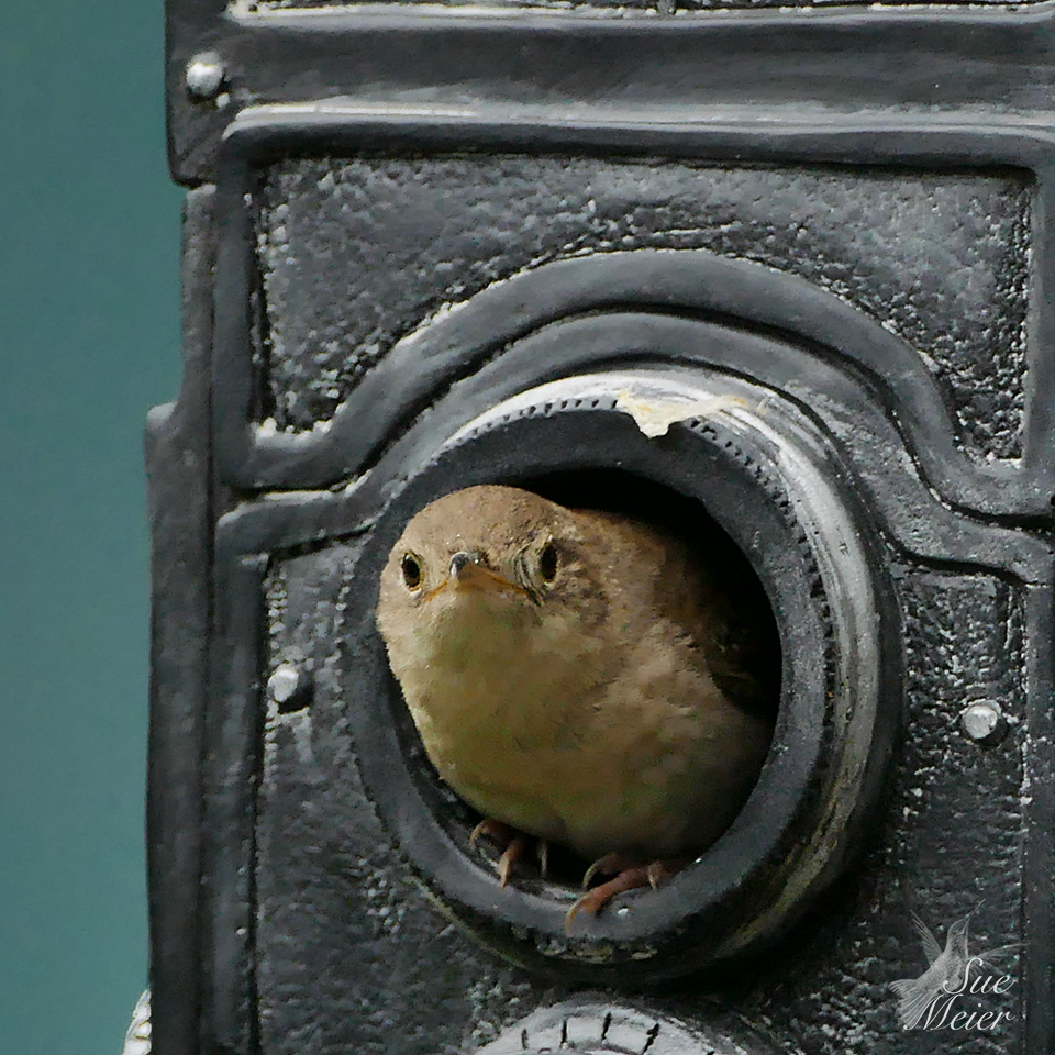 June202019HouseWren - 32 copy