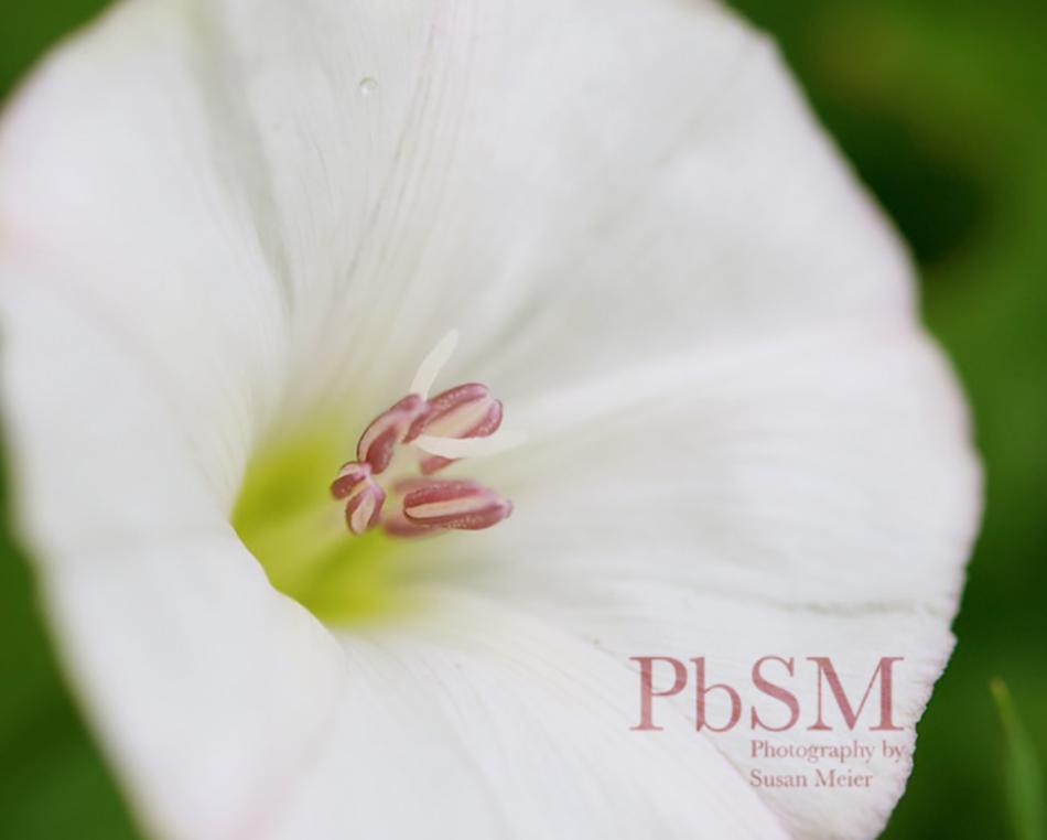 White lawn flower