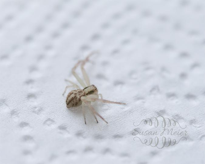 Grass Spider 1