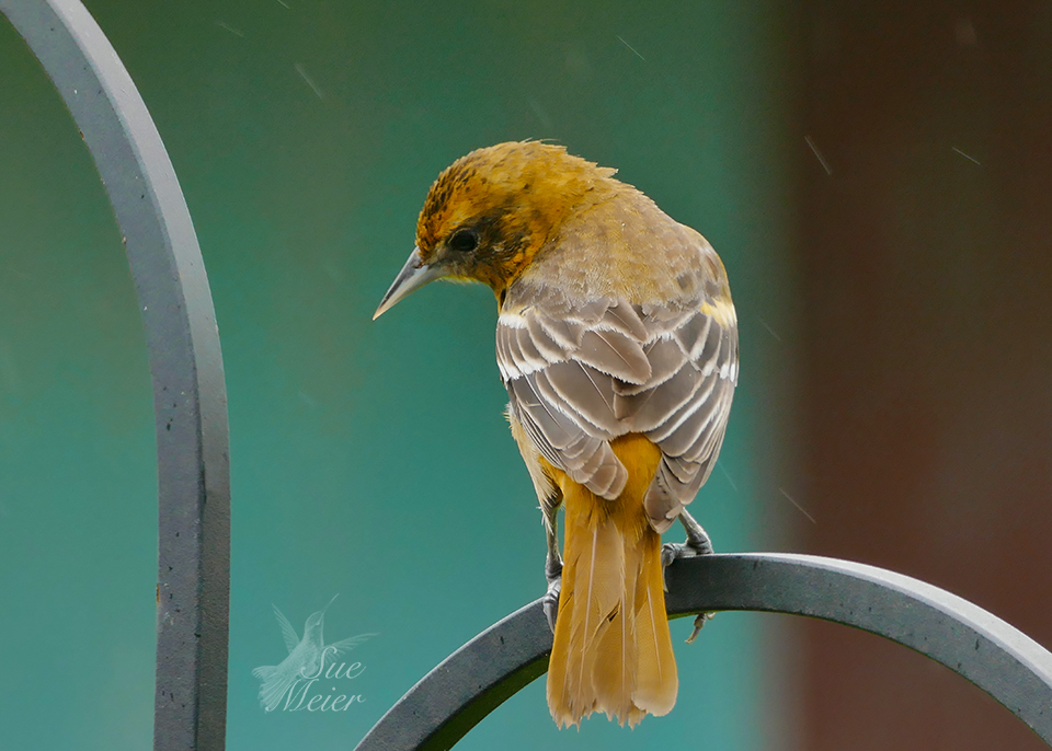 Female Oriole on perch