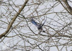 2019 Blue Jay(s)
