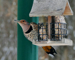 Northern Flicker in February