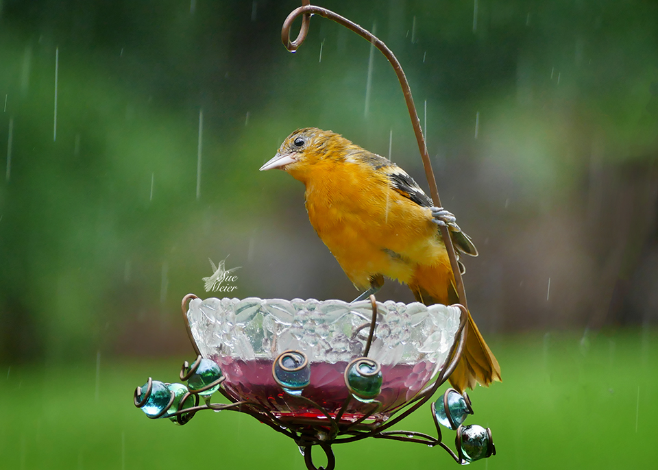 Rainy day Oriole