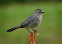 Catbird - 14