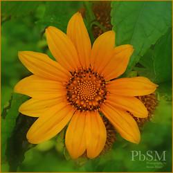 Puerto Plato Flower