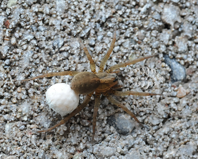 Spider with egg sack