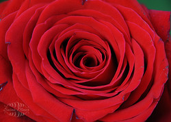 Stacked Rose