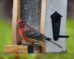 January House Finch