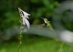 Hummer by Flower - 1