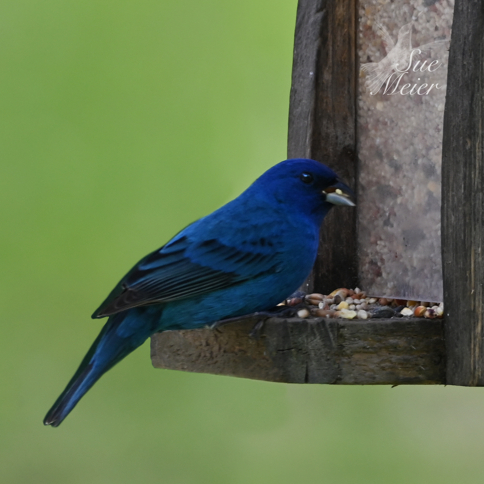 May192020IndigoBunting - 3 copy