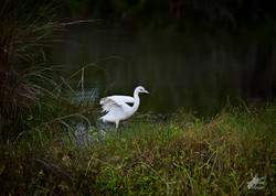 Great Blue Heron White