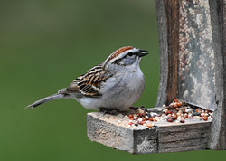 Chipping Sparrow - 2019