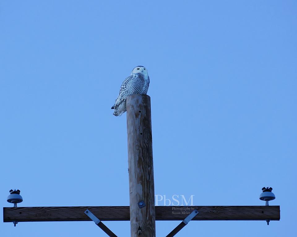 Snowy Owl in Basom, NY.