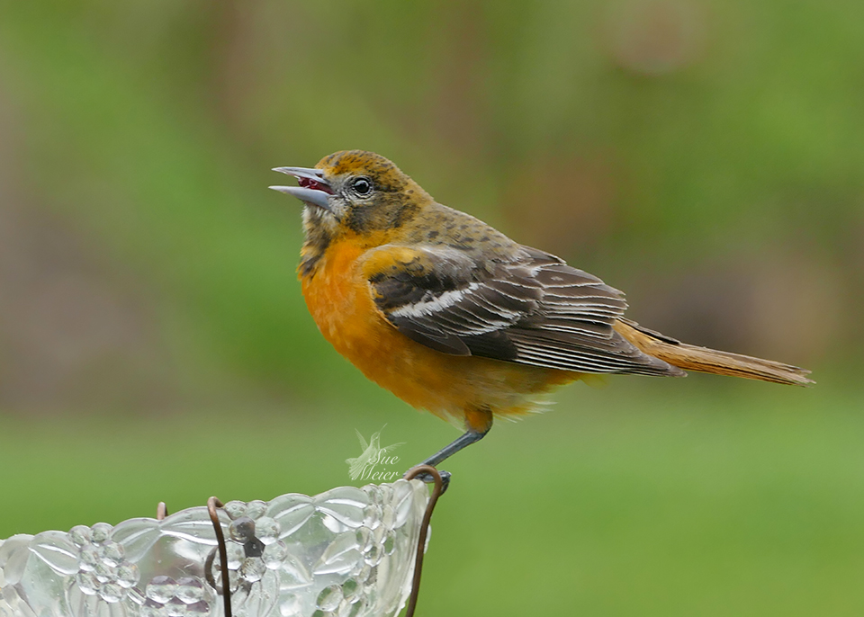 Female Oriole - 2019