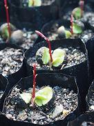 Onion Wood (Syzygium alliiligneum) seed