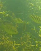 Tilapia cropped.png