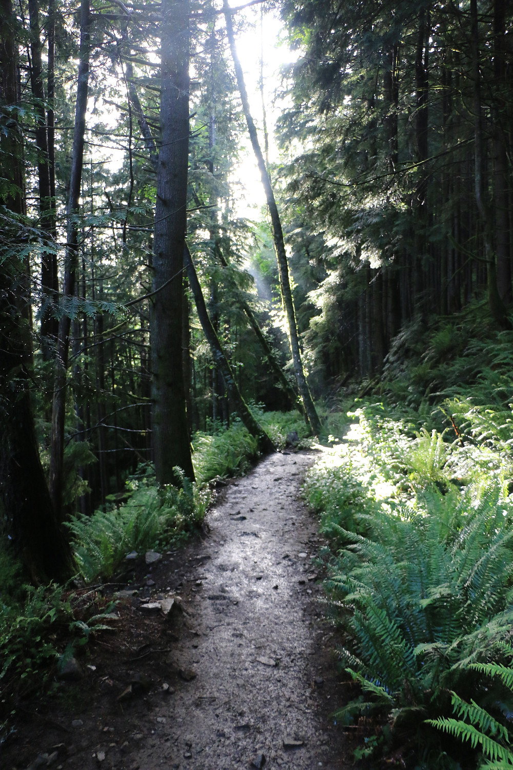 Ferns and dense trees surrounding Dirty Harry's Balcony trail