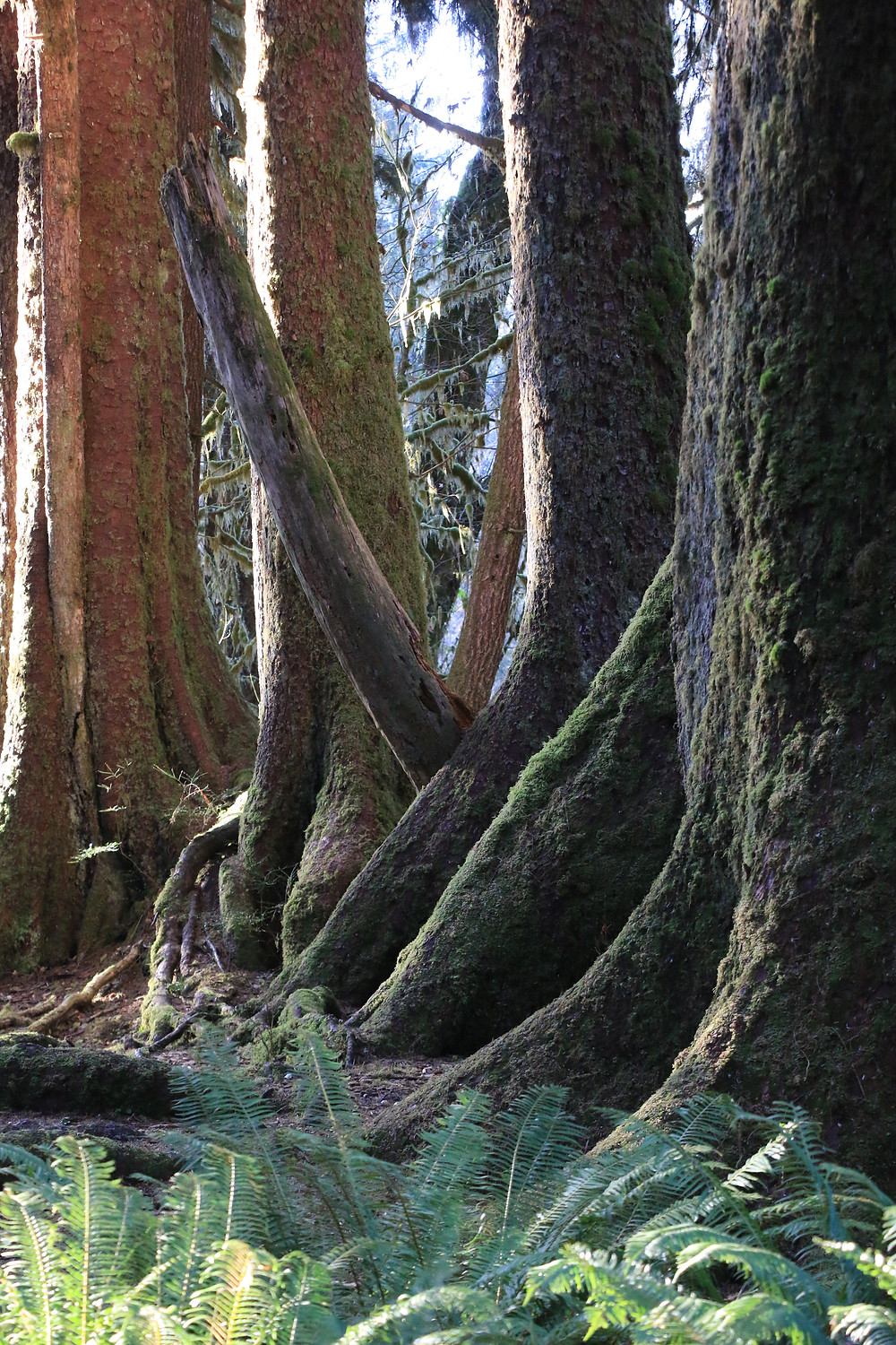 trees in hoh rain forest