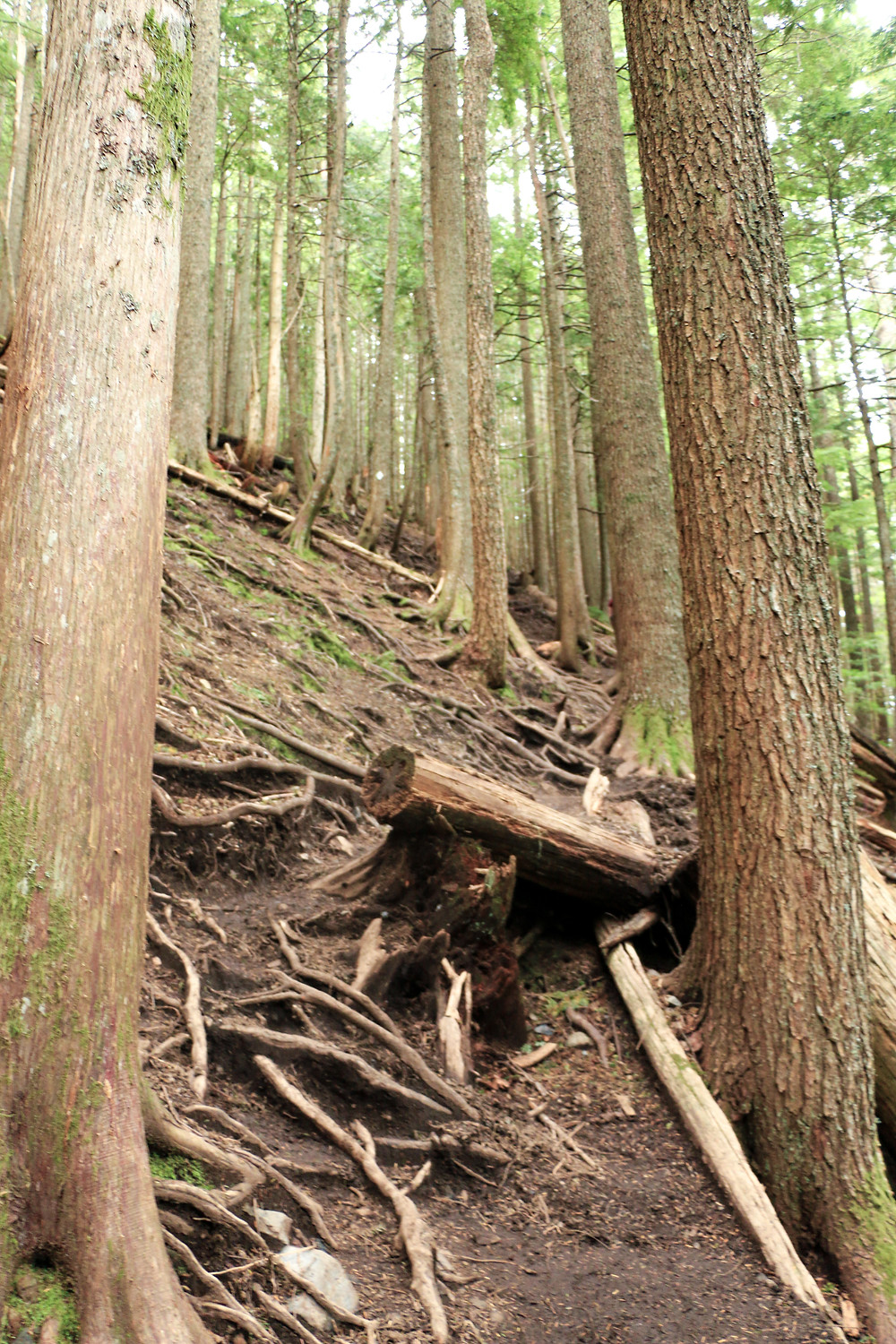 Trees and Roots across the mailbox peak trail