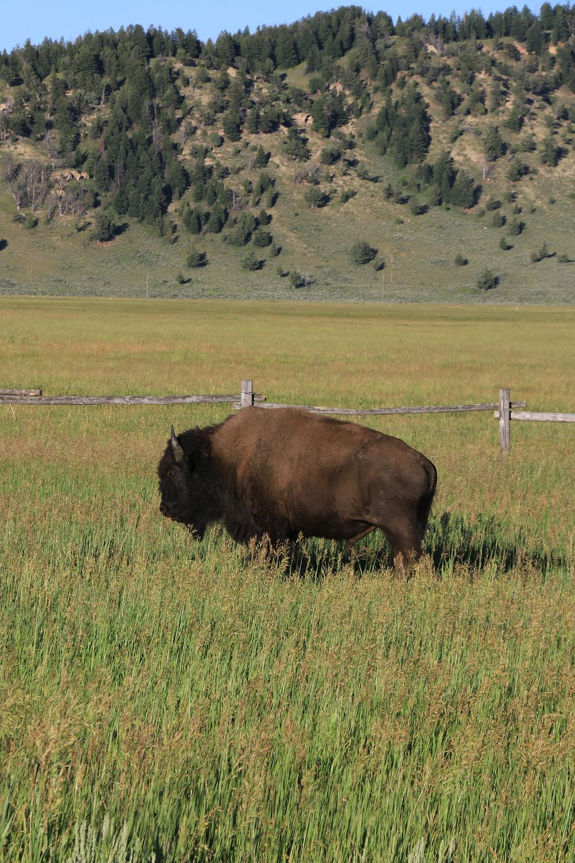 Buffalo in Grand Teton National Park