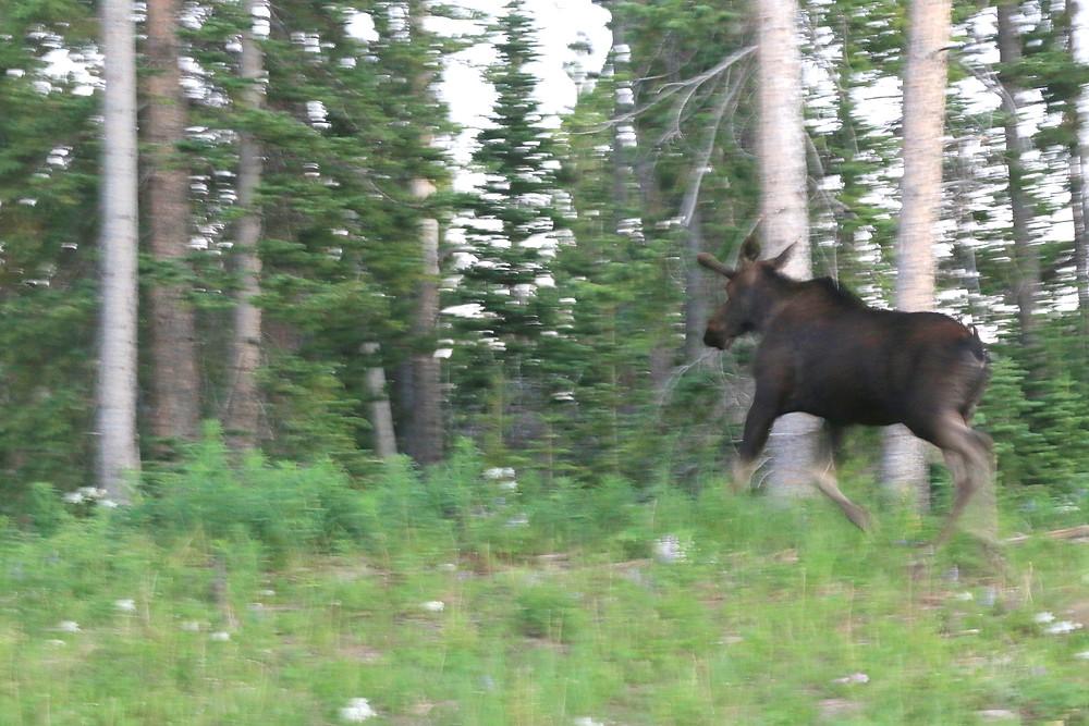 A moose running away