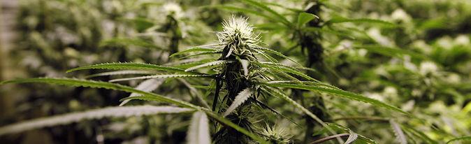 cannabis travel